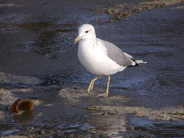 The gull's back and wings are dark gray. The legs and feet are a ...