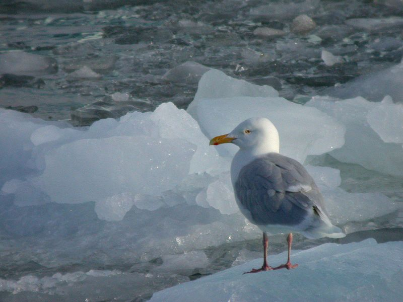 Glaucous Gull on ice © Wikipedia/Wikicommons
