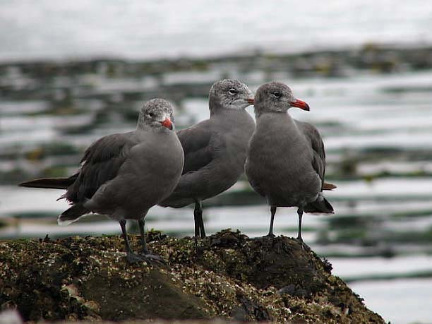 Heerman's Gull adult winter coloration - photo © Corey Melchior