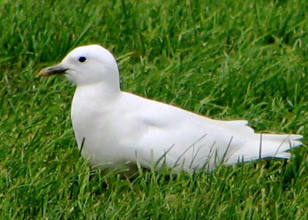 Ivory Gull photo © Dave Beeke