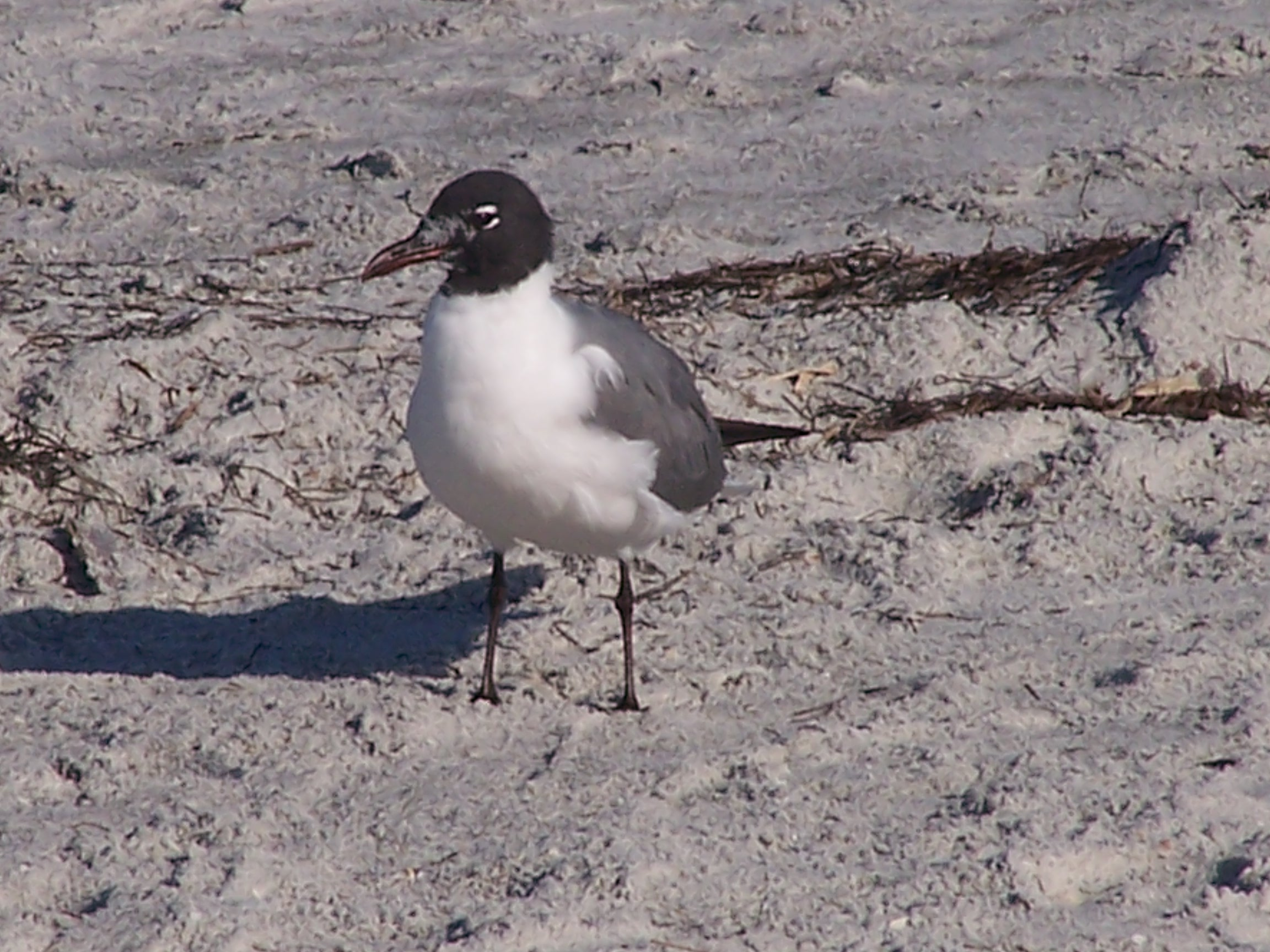 Laughing Gull photo © Steven P. Wickstrom