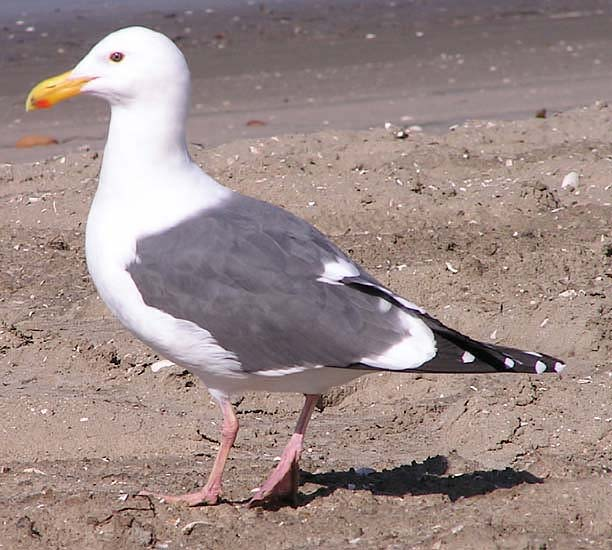 Western Gull photo © Mary Beth Stowe