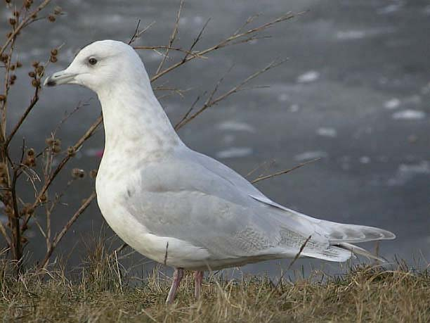 Seagull facts and information