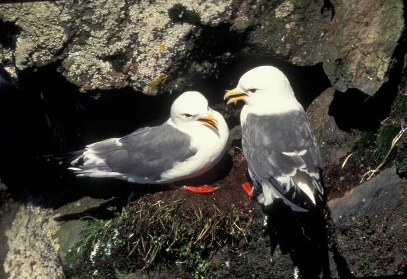 Red-legged Kittiwake photo © Wilipedia/Wikicommons