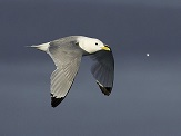 Black Legged Kittiwake photo © Jorma Tenovuo