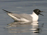 Bonaparte's Gull photo © Ralph Hocken