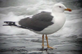 Lesser Black-Backed Gull photo © Richard Stern