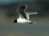 Little Gull photo © Jorma Tenovuo