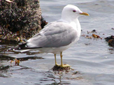 Mew Gull photo © Michael G. Shepherd