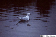 Ross's Gull photo © Allen Chartier