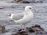 Thayer's Gull photo © Michael G. Shepherd