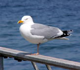 Herring Gull photo © Wikipedia/Wikicommons
